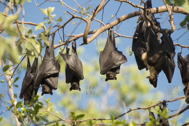 Spectacled flying fox (Pteropus conspicillatus) colony roosting during daytime, North Queensland, Australia, November