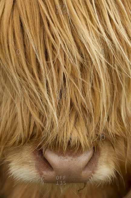 Close-up of Highland cow (Bos taurus) showing thick insulating hair covering face. Isle of Lewis, Outer Hebrides, Scotland, UK, April