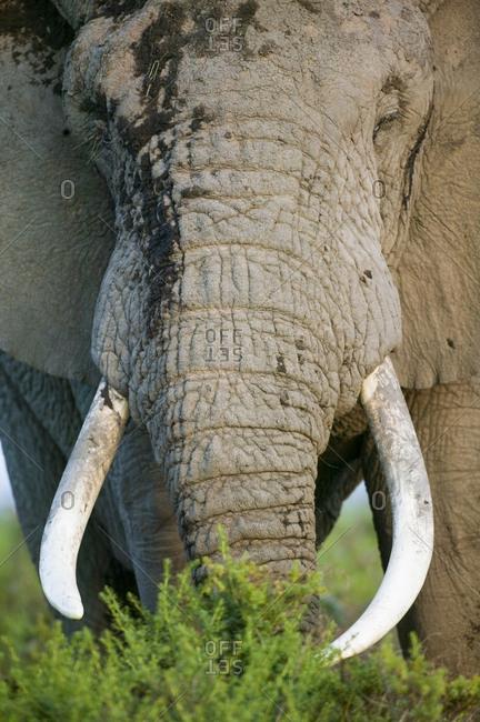 African Elephant (Loxodonta africana) large male feeding. Masai-Mara Game Reserve, Kenya