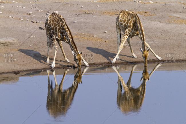 South african giraffe (Giraffa camelopardalis giraffa) drinking. Etosha National Park, Namibia