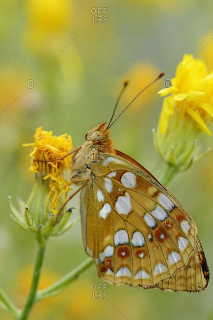 Fritillary butterfly (Melitea sp.) North Velebit National Park, Velebit Nature Park, Rewilding Europe area, Velebit mountains, Croatia, June