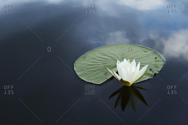 White water lily (Nymphaea alba) on calm water, Danube delta rewilding area, Romania