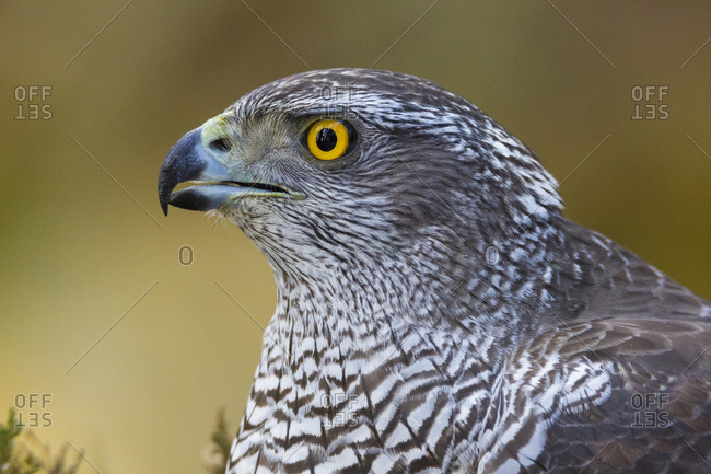 Female goshawk (Accipiter gentilis) close-up portrait. Southern Norway, January