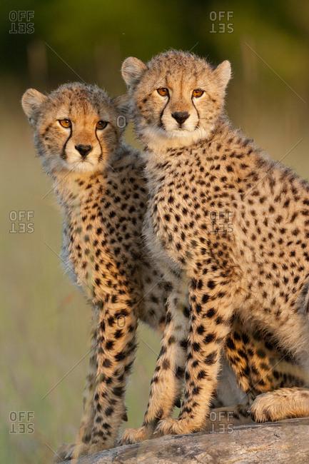 Cheetah (Acinonyx jubatus) cubs aged 6 months, Masai-Mara Game Reserve, Kenya. Vulnerable species
