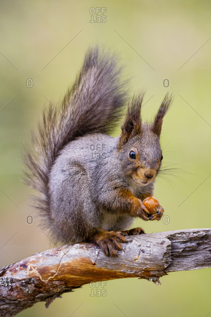 Red Squirrel (Sciurus vulgaris) sitting on branch with hazelnut. Skelleftea, Sweden, May