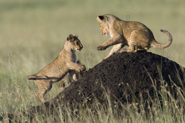 Lion (Panthera leo) cubs playing on termite mound, Masai-Mara game reserve, Kenya. Vulnerable species