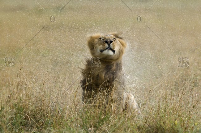 Lion (Panthera leo) male  shaking water from its mane  after rain, Masai-Mara Game Reserve, Kenya. Vulnerable species