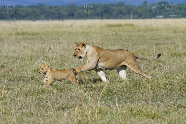 Lioness (Panthera leo) and cub playing, Masai-Mara Game Reserve, Kenya. Vulnerable species