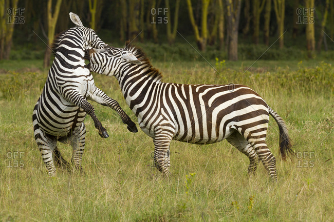 Grant's zebra (Equus burchelli boehmi) males fighting, Nakuru National Park, Kenya