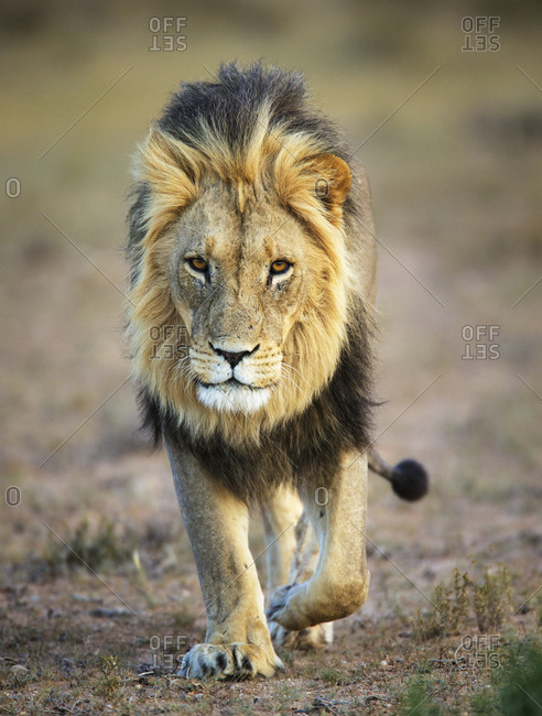 Lion (Panthera leo), male, Kgalagadi Transfrontier Park, South Africa