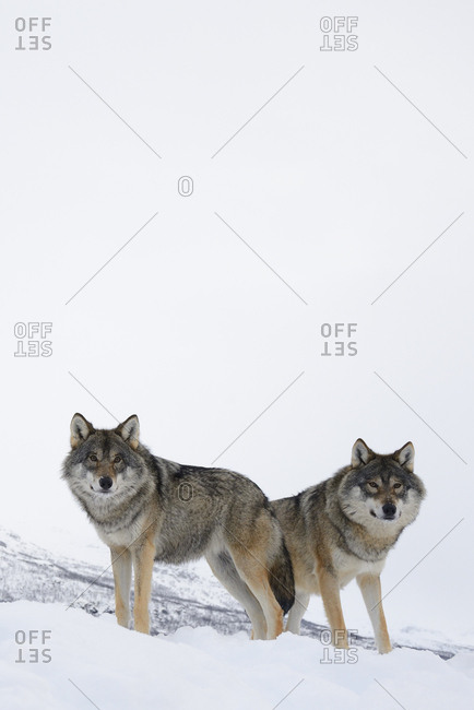 Two European grey wolves (Canis lupus) in snow, captive, Norway, February