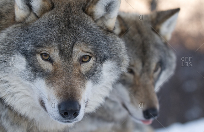 Head portrait of a European grey wolf (Canis lupus), with a second in the background, captive, Norway, February