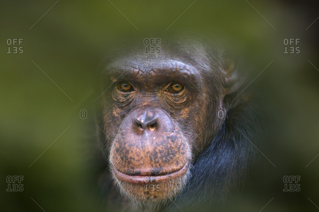 Chimpanzee (Pan troglodytes) portrait, captive, leaves digitally added