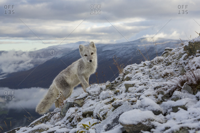 Arctic Fox (Alopex / Vulpes lagopus) standing on ridge, during moult from grey summer fur to winter white. Dovrefjell National Park, Norway, September