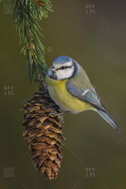Blue tit (Cyanistes caeruleus) perched on spruce cone. Tomter, Southern Norway. January