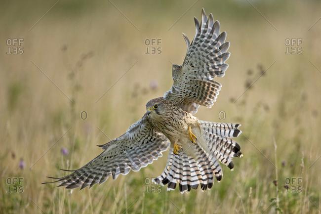 Kestrel (Falco tinninculus) swooping whilst hunting, UK