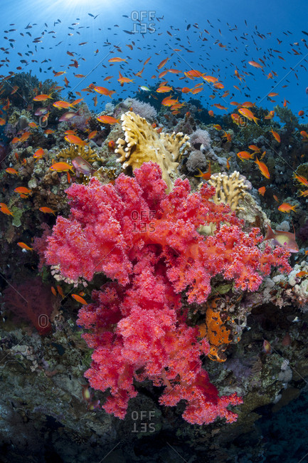 Colorful scene on coral reef, with soft coral (Scleronephthya corymbosa) and Scalefin anthias (Pseudanthias squamipinnis). Jackson Reef, Strait of Tiran, Sinai, Egypt. Gulf of Aqaba, Red Sea