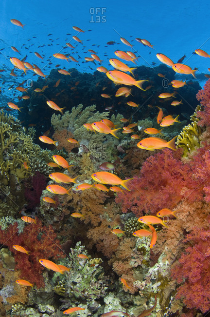 School of Scalefin anthias (Pseudanthias squamipinnis) on reef in the current feeding on plankton, with soft corals (Dendronephthya spp.) and fire coral (Millepora dichotoma) Jackson Reef, Strait of Tiran, Gulf of Aqaba, Red Sea, Egypt