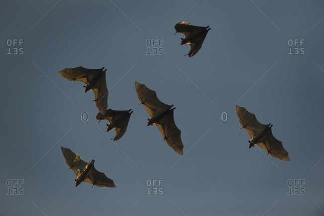 Straw-colored fruit bats (Eidolon helvum) in flight returning to their daytime roost. Kasanka National Park, Zambia