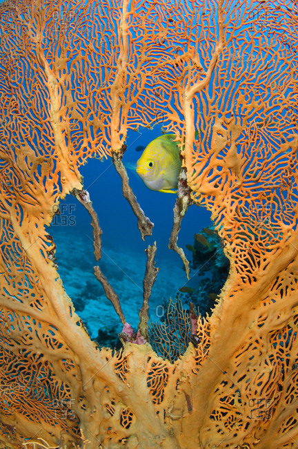Male Golden damselfish (Amblyglyphidodon aureus) guarding  clutch of eggs, which the female has laid in the nest he has created in the centre of seafan (Annella mollis) East of Eden, Similan Islands, Thailand. Andaman Sea, Indian Ocean