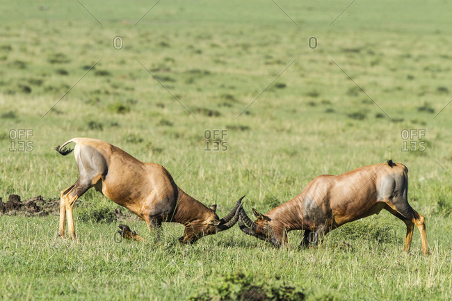 Topi (Damaliscus korrigum) males fighting, Masai Mara Game Reserve, Kenya, October