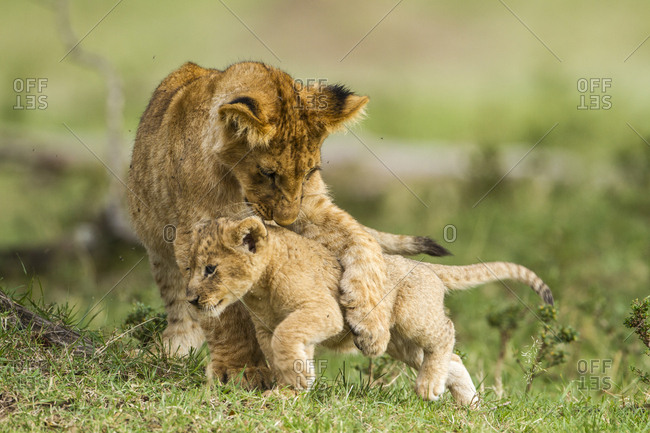 Lion (Panthera leo) cubs playing, Masai Mara Game Reserve, Kenya, September