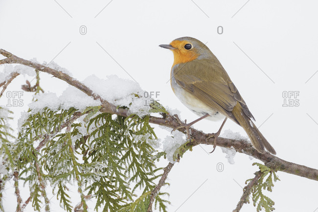 European robin (Erithacus rubecula) perched on snowy branch, Southern Norway. January