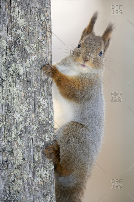 Red squirrel (Sciurus vulgaris) on dead tree truck looking. Portrait. Kuusamo, Finland. March
