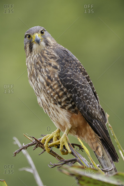 Female New Zealand Falcon (Falco novaeseelandiae) perched on flax plant. Oreti Valley, South Island, New Zealand. January. Endemic