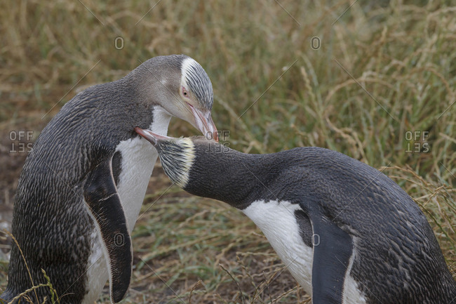 Two Yellow eyed penguins (Megadyptes antipodes) mutual preening.  Katiki Point, Moeraki, Otago, New Zealand. January. Endangered species