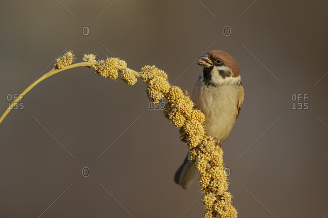 Male House sparrow (Passer domesticus) feeding on Millet grain / seed head. Southern Norway. December
