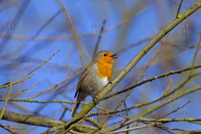 Robin (Erithacus rubecula) singing, Norfolk, England, UK, February