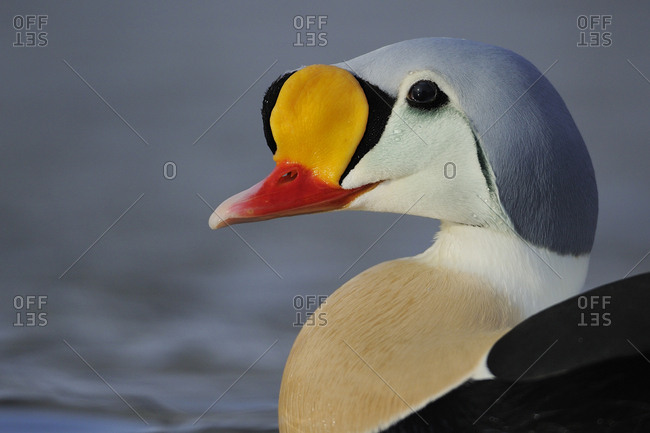 King eider duck (Somateria spectabilis) male, Batsfjord village harbor, Varanger Peninsula, Norway. March