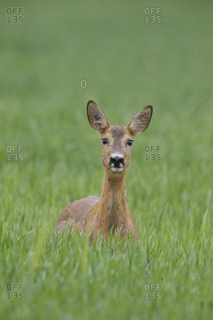 Female Roe deer (Capreolus capreolus) standing in a wheat field, Norway, June