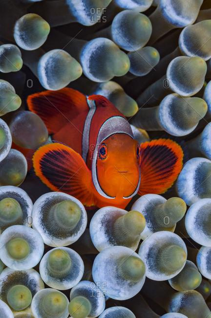 Spinecheek anemonefish (Premnas biaculeatus) in host Bubble-tip anemone (Entacmaea quadricolor) on coral reef. Fiabacet Island, Misool, Raja Ampat, West Papua, Indonesia. Ceram Sea