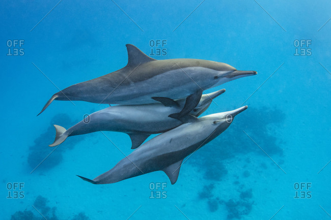 Two male Spinner dolphins (Stenella longirostris) take it in turns to mate with a larger female. The male's penis (middle) is visible in this frame. Sataya Reef, Fury Shoal, Egypt. Red Sea
