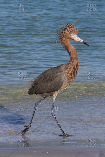 Reddish egret (Egretta rufescens) in dark phase on beach. Tampa Bay, St. Petersburg, Florida, USA. July
