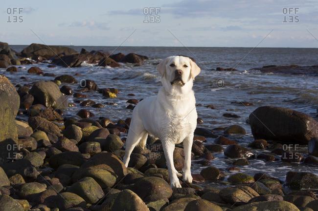 Domestic Labrador retriever on rocky seashore. Madison, Connecticut, USA. December
