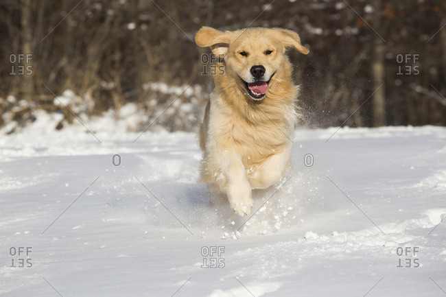 Domestic male Golden retriever running in snow. Franklin, Connecticut, USA. January