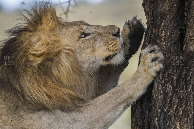 Male African lion (Panthera leo) scratching tree at Big Marsh, Nogorongoro Conservation Area / Serengeti National Park, Tanzania. March