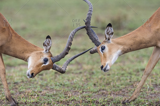 Male Impala (Aepyceros melampus) fighting / sparring. Serengeti National park, Tanzania. March