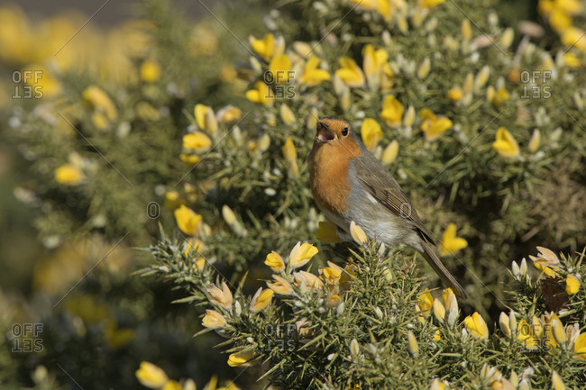 Robin (Erithacus rubecula) singing in spring. Norfolk, England, UK. March