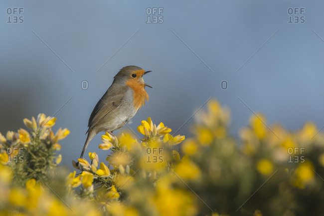 Robin (Erithacus rubecula) singing in spring. Norfolk, England, UK.