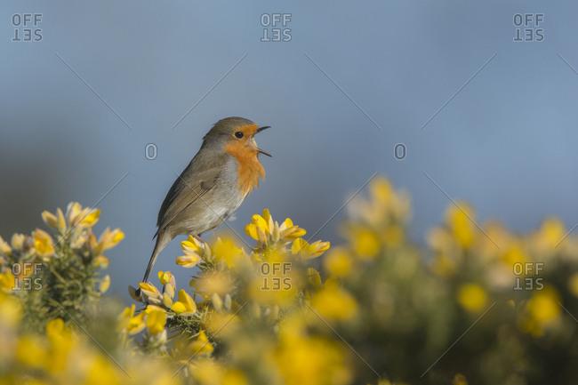 Robin (Erithacus rubecula) singing in spring. Norfolk, England, UK.