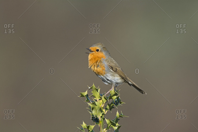 Robin (Erithacus rubecula) singing in spring. Norfolk, England, UK. March