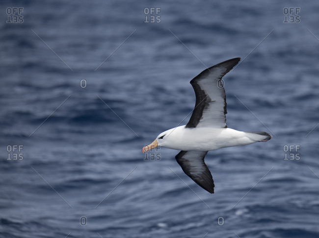 Black-browed albatross (Thalassarche melanophris) in flight, South Atlantic, South Georgia. January