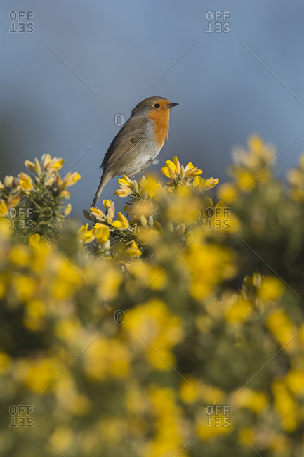Robin (Erithacus rubecula) in spring, perched on Gorse. Norfolk, England, UK. March