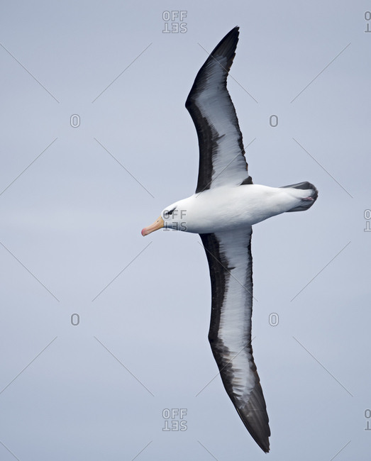 Black-browed albatross (Thalassarche melanophris) in flight. South Atlantic, South Georgia. January