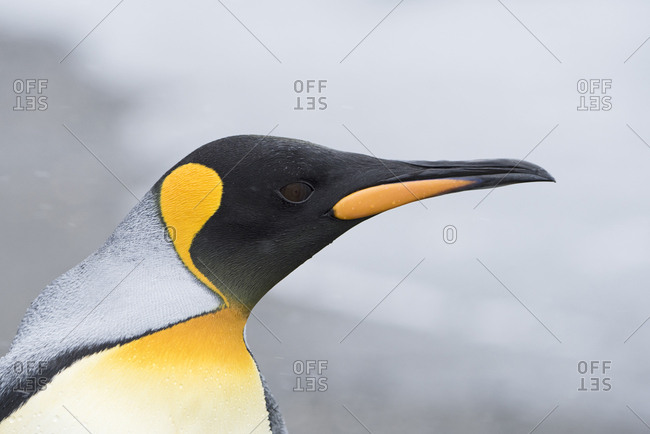 King penguin (Aptenodytes patagonicus) head portrait. Salisbury Plain, South Georgia. January
