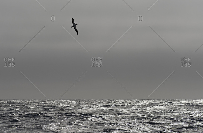 Wandering albatross (Diomedea exulans) silhouetted above Southern Ocean, South Georgia. January